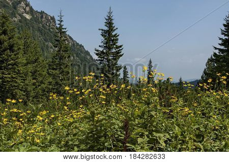 Sunlit mountain top overgrown with coniferous forest, glade  and  Arnica  or wild yellow flower on the ecological walk toward Maliovitza peak in Rila mountain, Bulgaria