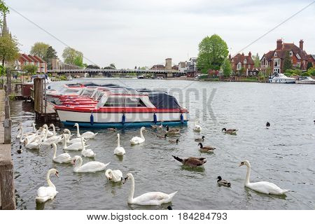 Swans by the River Thames at Marlow in Buckinghamshire