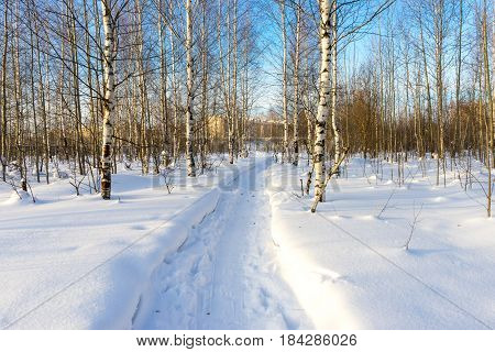 The path trodden in the snow in winter birch forest on a bright sunny day