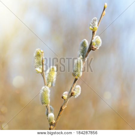 Willow branches with fluffy catkins. Beautiful yellow pussy willow flowers branches. Soft floral spring and easter nature background.