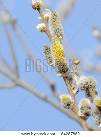 Willow branches with fluffy catkins. Beautiful yellow pussy willow flowers branches on blue sky background. Soft spring and easter nature background. Closeup