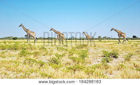 Giraffes Herd - Chobe National Park, Botswana: Big herd of giraffes walking peacefully on a green and yellow grass plain.