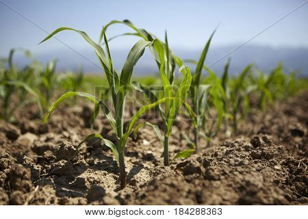 Young maize seedlings in the field grow in the spring