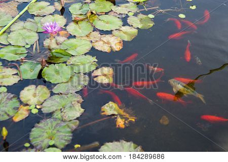 Water Lily Flower with green leaves and gold fish in the water.