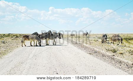 Group of Zebras - Etosha National Park, Namibia: Group of Zebras standing in the middle of a sand track and grazing in the savanna.