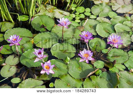Water lily on the surface of garden pond. Selective focus. .