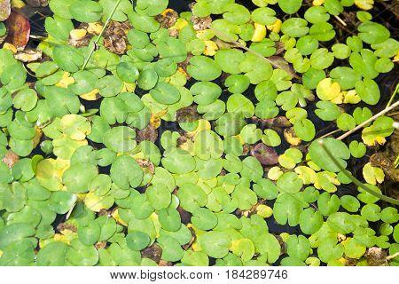 water lilies leaves in water garden park