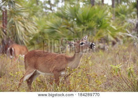 Key Deer grazing at National Key Deer Refuge Big Pine Key Key West Florida