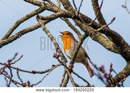 Small Robin bird singing on the tree