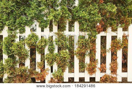 White fence and rusty cedar tree. Thuja blight