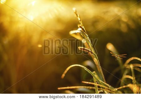 Flying dragonfly and grass. blurry background of dewy grass. Copy space for your text