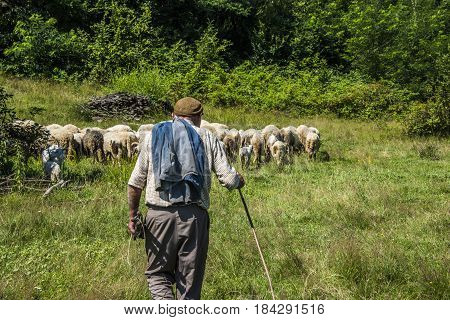 Shepherd and sheep, Shepherd with sheep in nature, Shepherd taking care of his sheep's, Shepherd leads his sheep through the pastures Bosnia