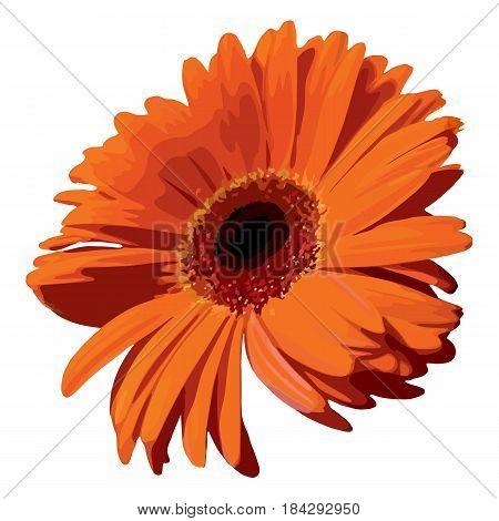 Orange gerbera blossom flower plant realistic isolated vector