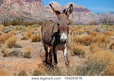 Wild Mules roam the valley of Red Rock Canyon, Nevada.