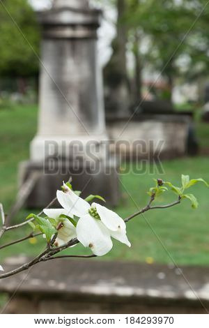Old Tombstones Beyond Dogwood Tree