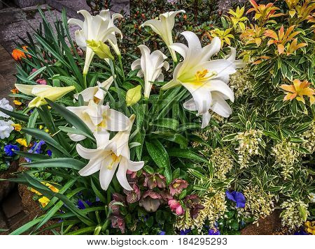 Raindrops on this Spring garden with Easter lilies in New York City.