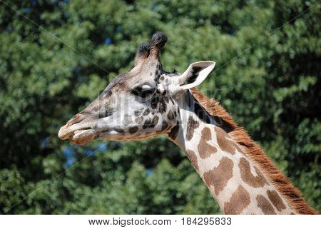 A Giraffe lumbers along looking for leaves high in the trees.