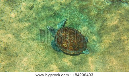 Chelonia mydas, also known as the green sea turtle.