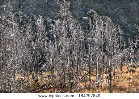 Dead Forest At Torres Del Paine National Park, Chile, Patagonia