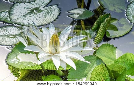 Two grasshopper with the white lotus flower (Nelumbo nucifera or Indian lotus or sacred lotus) in a colorful garden Thailand