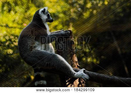 Lemur trepado sobre árbol observando su hábitat