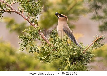 Cedar Waxwing feeding on Juniper berries during spring migration.