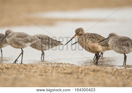 Marbled Godwit and Willets on a beach during spring migration.