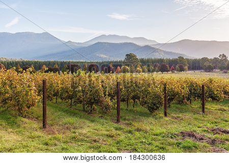 Rows Of Vines Closeup In Autumn At Sunset. Victoria, Australia