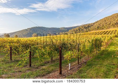Beautiful Vineyard At Sunset. Autumn In Australia