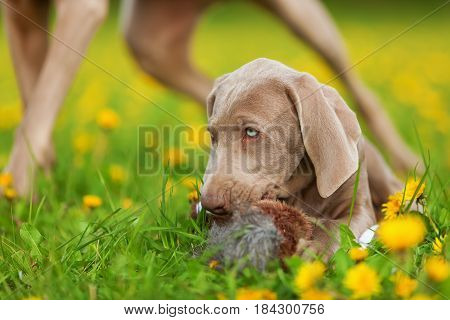 picture of a cute Weimaraner puppy playing with a plush pheasant in a dandelion meadow
