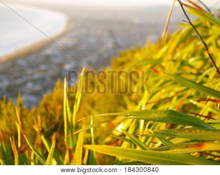 Dew drops on New Zealand flax catches early morning sun on side of Mount maunganui with out of focus town extends to horizon.