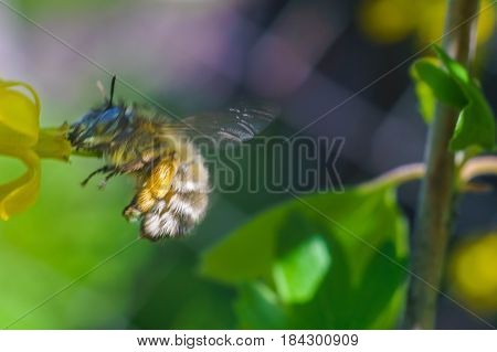 bee fly to the yellow flower in sunny day of spring