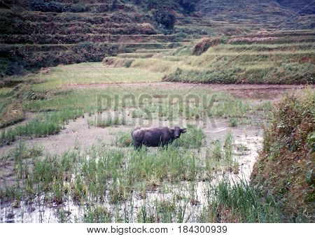 A carabao (Bubalus bubalis) stands in a rice paddy in the ancient rice terraces, carved into the mountains, near the city of Banaue, Ifugao Province, in the Philippines.
