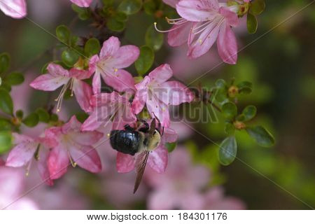 Close up of a carpenter bee busily pollinating bright pink azalea flowers in springtime