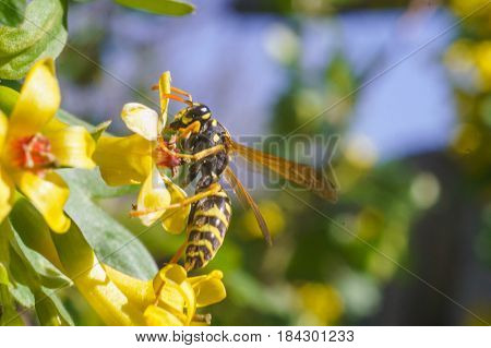wasp on the yellow flower in sunny day of spring with blue sky