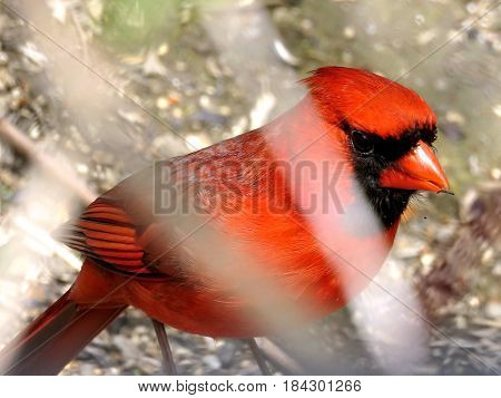 Red Cardinal in Humber Bay Park on a shore of the Lake Ontario in Toronto Canada April 27 2017