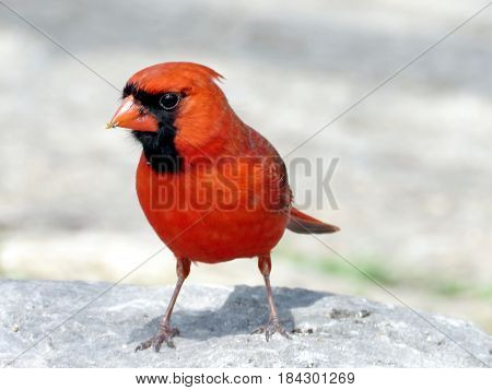 Red Cardinal on a stone in Humber Bay Park on a shore of the Lake Ontario in Toronto Canada April 27 2017