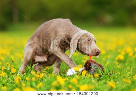 Weimaraner Puppy Playing With A Plush Pheasant