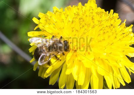bee on the yellow flower in sunny day of spring