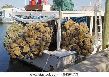 Blue fisherman's nets on a docked boat holds a large harvest of natural sea sponges on a sunny day in Tarpon Springs Florida