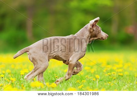 Cute Weimaraner Puppy Running On The Meadow