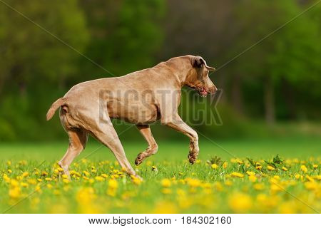Weimaraner Dog Running On The Meadow
