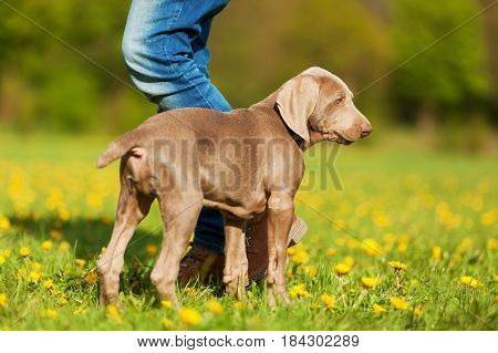 Woman Plays With A Weimaraner Puppy