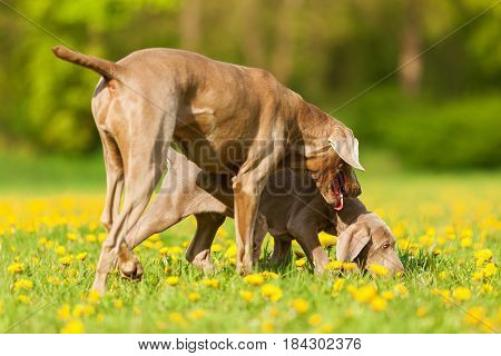 Weimaraner Adult And Puppy Playing On The Meadow
