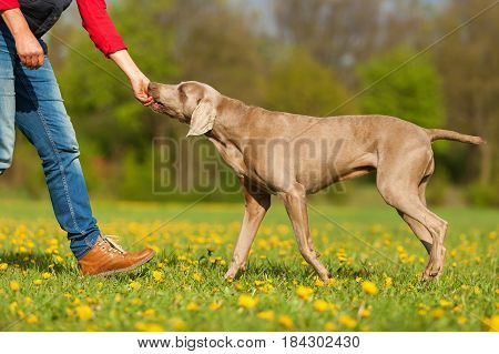 Woman With A Weimaraner On The Meadow