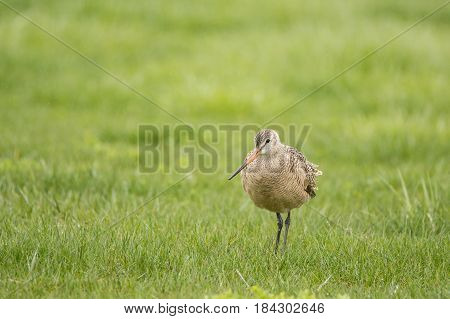Marbled Godwit feeding in a field at Lakeshore State Park during spring migration.