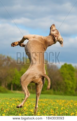 Picture Of A Weimaraner Who Jumps High