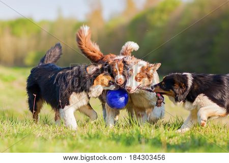 Four Australian Shepherd Pulling At A Ball