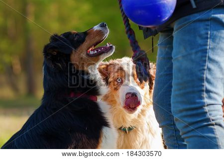 Person With Two Australian Shepherds Outdoor