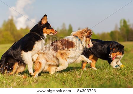 Australian Shepherd Dogs Running For A Toy